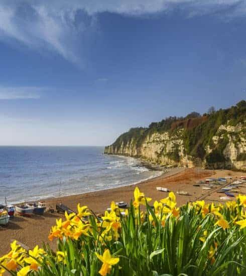Daffodils by Beer Beach in Devon