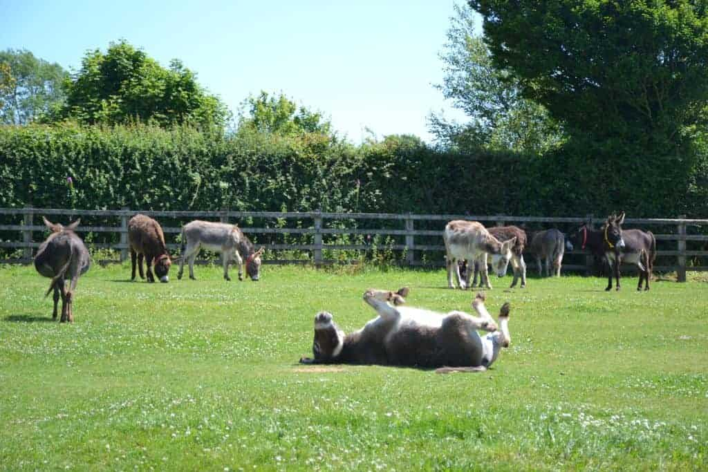 Donkeys in grassy field at The Donkey Sanctuary in Sidmouth Devon