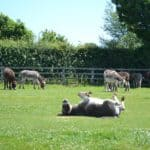 Donkeys in grassy field at The Donkey Sanctuary in Sidmouth Devon