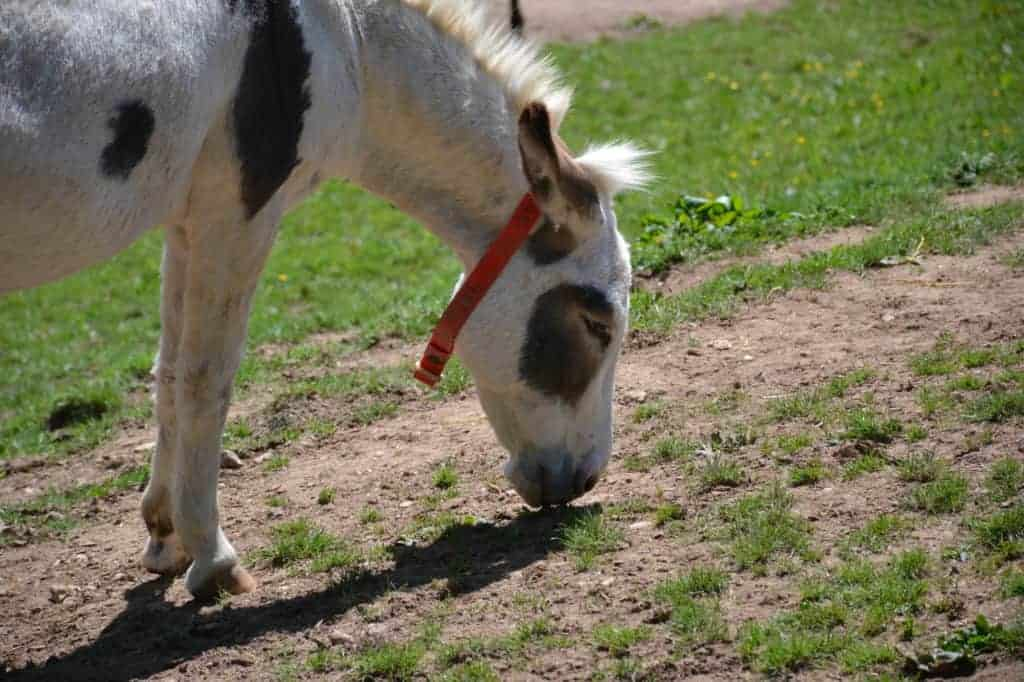 Donkey at the Donkey Sanctuary in Sidmouth -a place to visit in East Devon