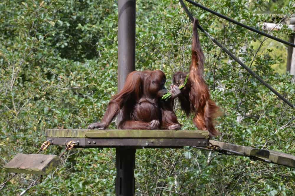 Orangutans at Paignton Zoo