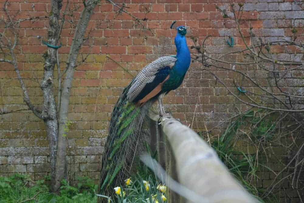 Peacock sitting on a fence at Wildwood Escot in East Devon