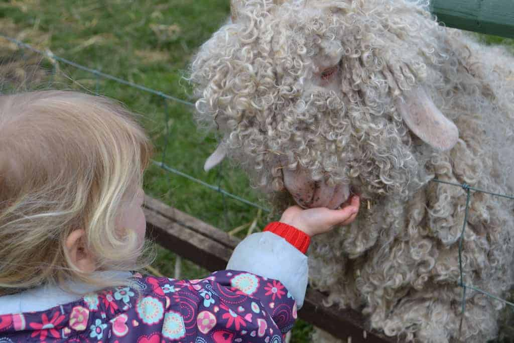 Child feeding sheet at Totnes Rare Breeds Farm