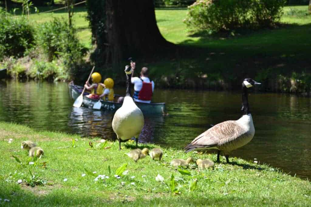 Geese family beside Canoe lake at River Dart Country Park near Ashburton