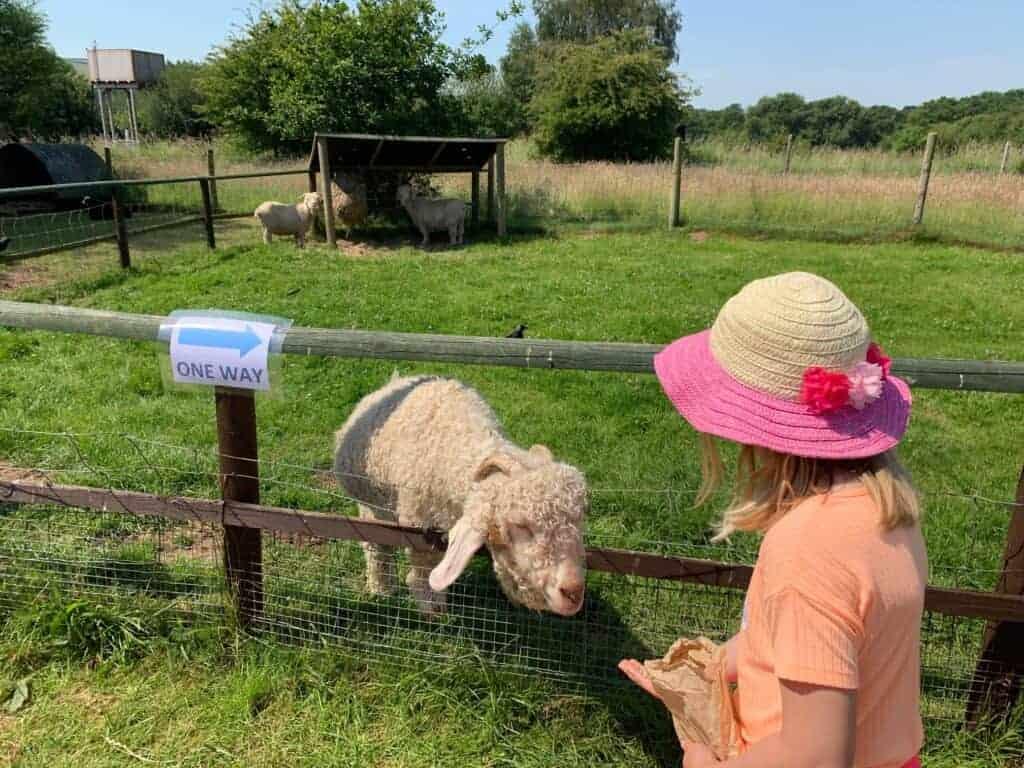 Child feeding Angora Goat at Totnes Rare Breeds Farm