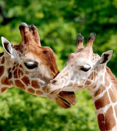 Giraffes duge noses at zoo