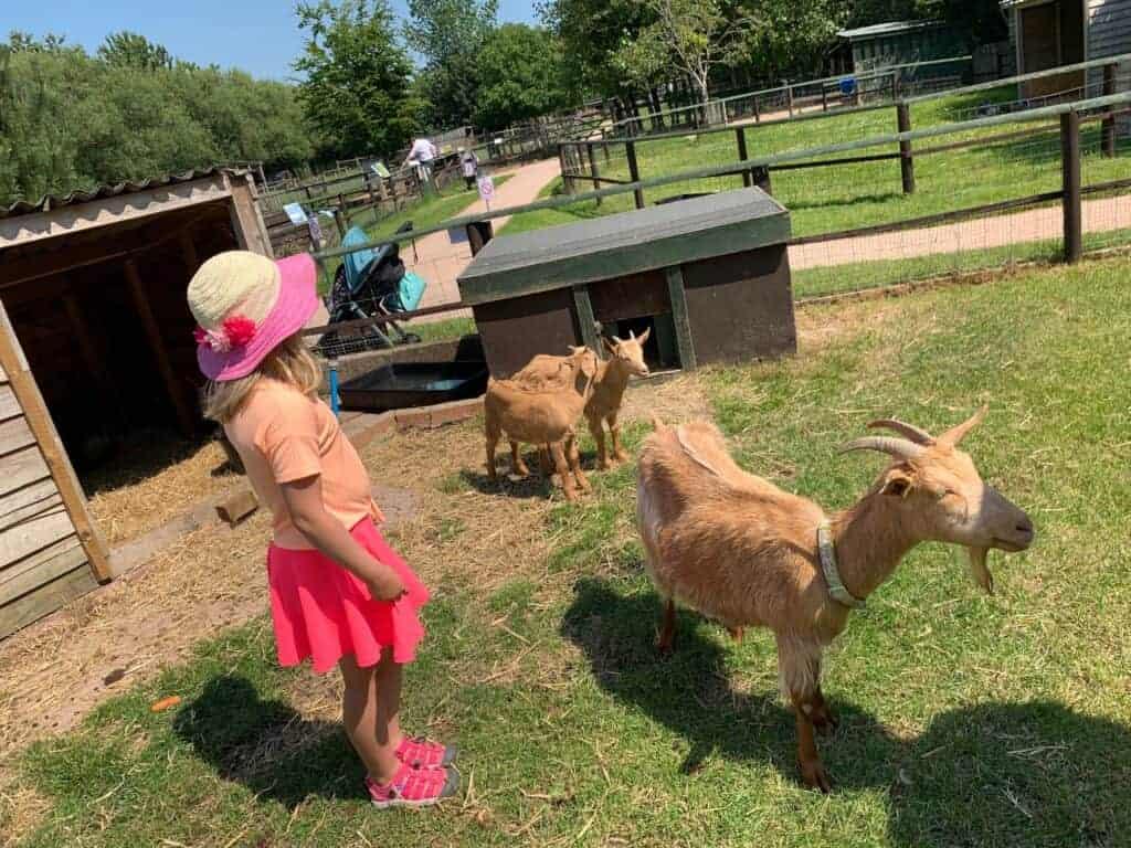 Child standing in goat enclosure at Totnes Rare Breeds Farm in South Devon