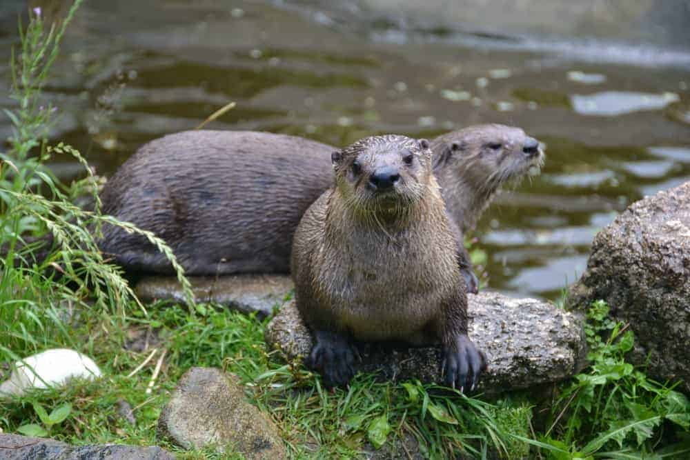 Otters at Dartmoor Otters and Buckfast Butterflies Sanctuary - a day out in Dartmoor Devon