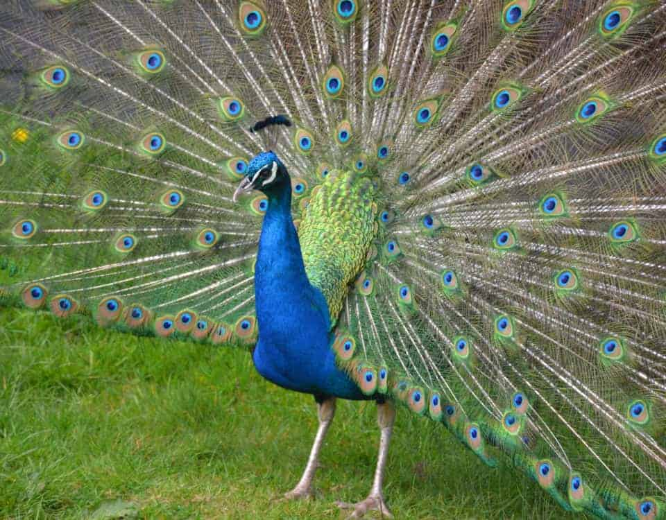 Peacock showing tail feathers at Wildwood Escot Devon zoo and wildlife park