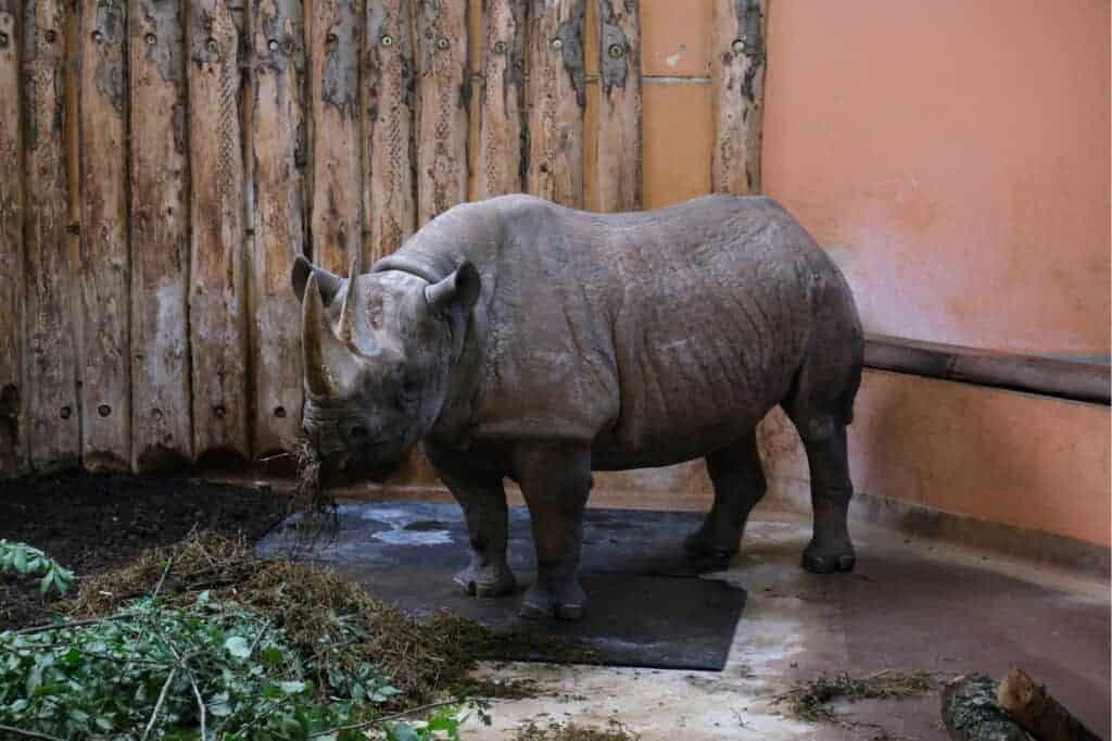 Black rhino in zoo enclosure