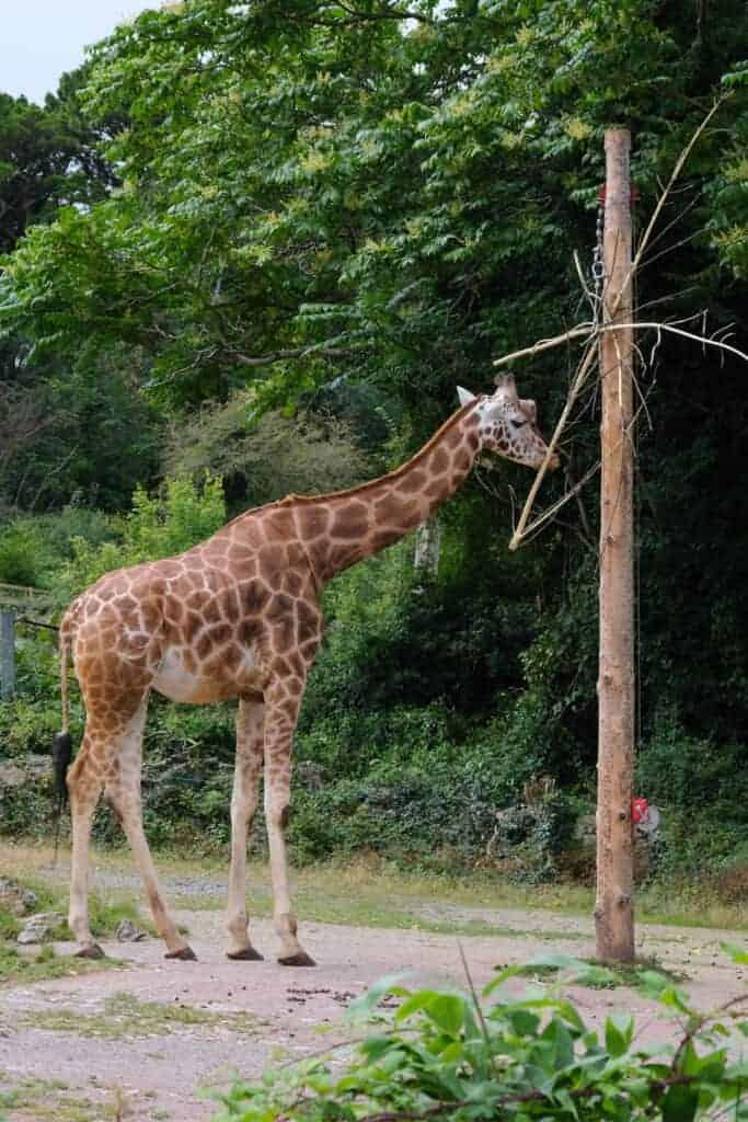 Giraffe eating outside at zoo