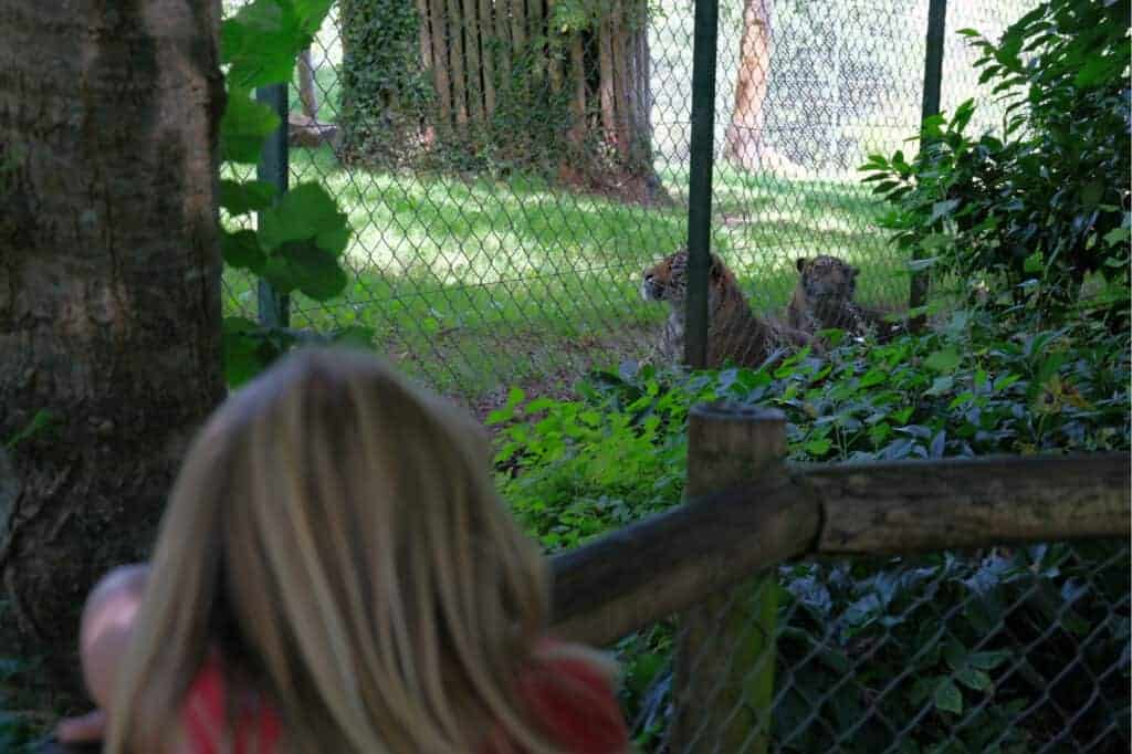 Child looking at tigers at Paignton Zoo