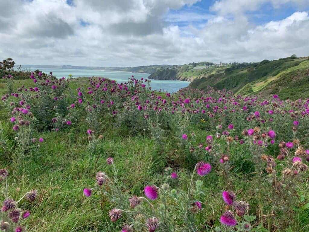Flowers on headland at Little Dartmouth