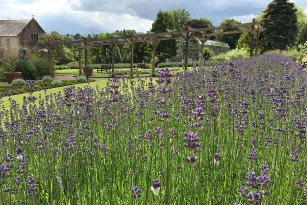 Lavender in Torre Abbey garden