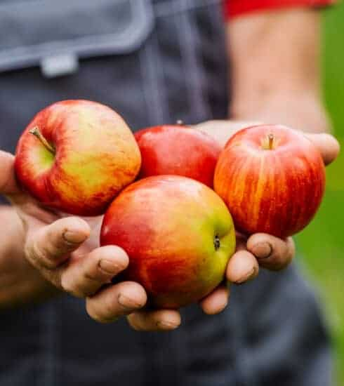 Farmer's hands holding freshly harvested apples.