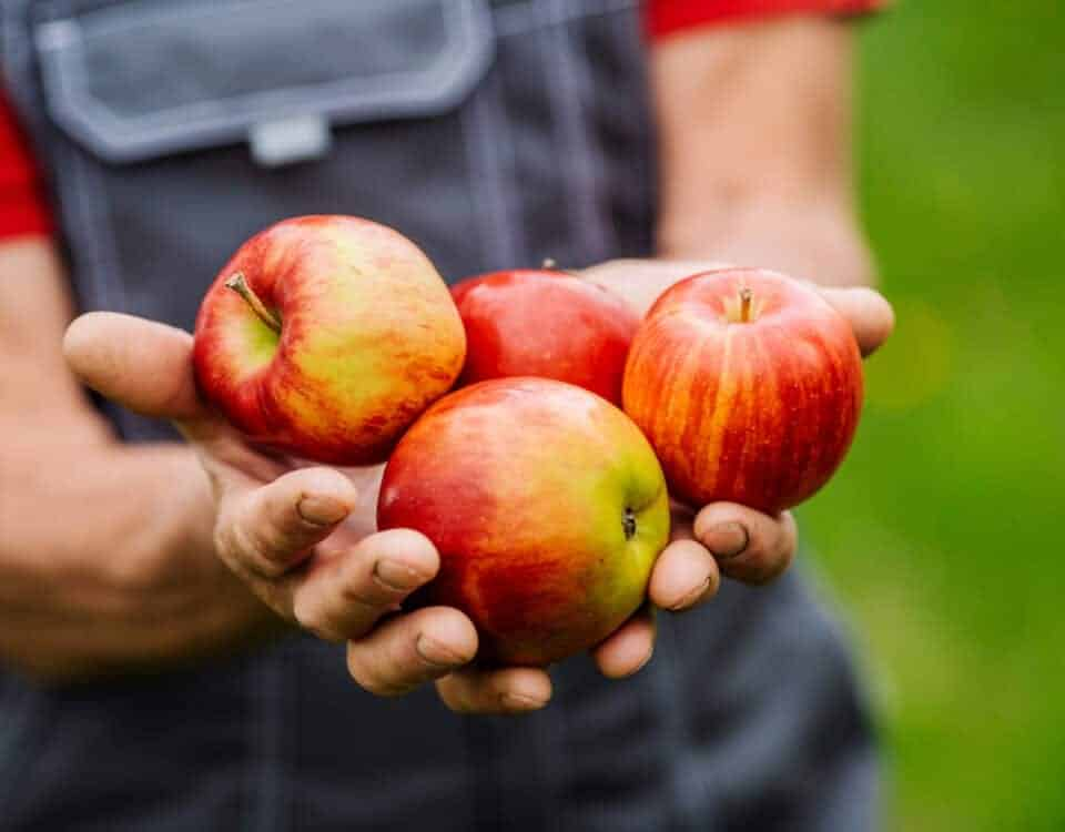 Farmer's hands holding freshly harvested apples.