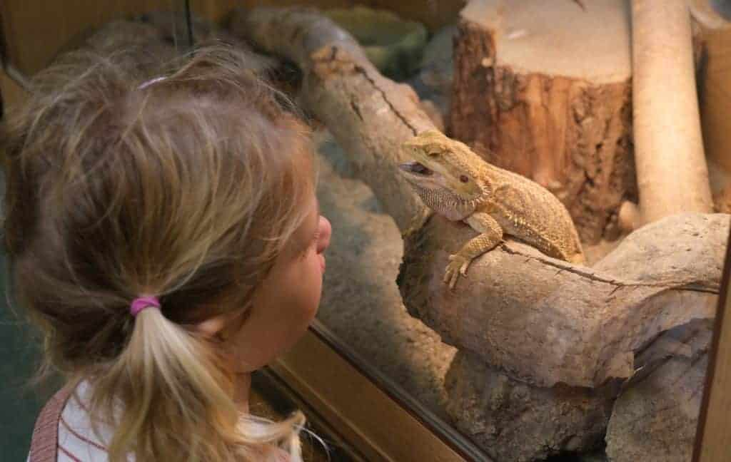 Child looks through glass tank at bearded dragon at Becky Falls